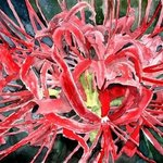 Red Spider Lily Flower Painting, Derek Mccrea