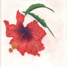 Carol Donahue - Kalathil Artwork Hibiscus, 2010 Pencil Drawing, Botanical