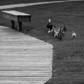 Dion Mcinnis: 'Duck Path Less Travelled', 2003 Black and White Photograph, Humor. Artist Description: Mother duck and ducklings avoiding the wooden boardwalk.  Print comes mounted on window mat board. ...