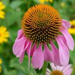 Purple Coneflower, David Bechtol
