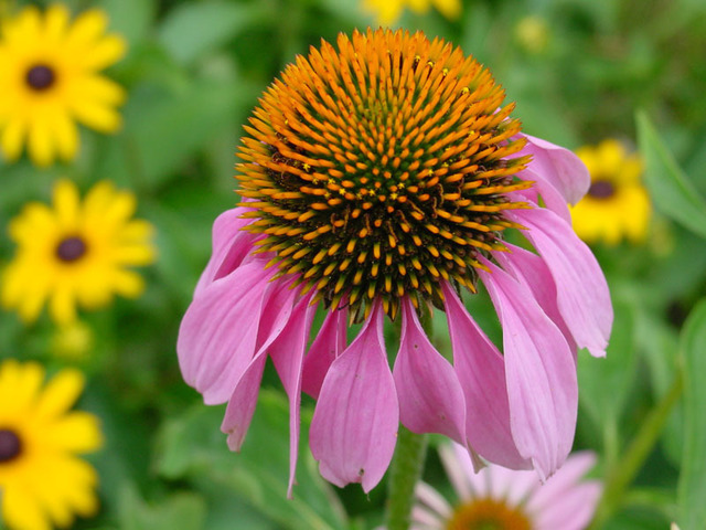 David Bechtol  'Purple Coneflower', created in 2007, Original Photography Other.