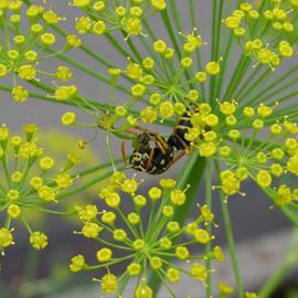 Wasp in Dill  By David Bechtol