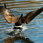 goosetopia: graceful landing By David Bechtol