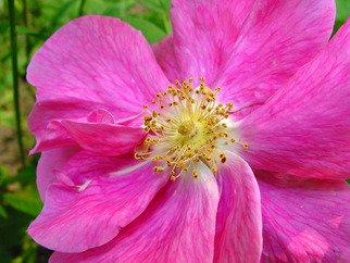 David Bechtol Artwork wild rose, 2007 wild rose, Floral