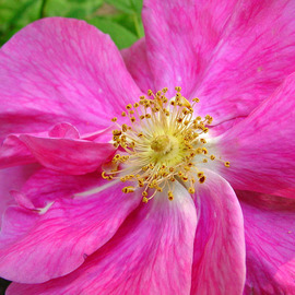 David Bechtol: 'wild rose', 2007 Color Photograph, Floral. Artist Description:  Beauty from around the neighborhood ...