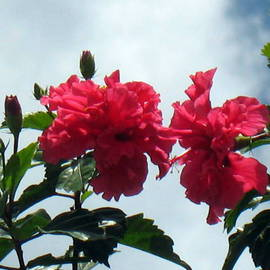 Don Jones: 'Lovers', 2013 Color Photograph, Floral. Artist Description:               country scenery, caribbean, donjones, photography, Hibiscus plant/ flowers     Orchid, plant, flowers, don jones, photography        ...