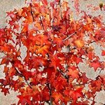 FALL LEAVES By Dora Martinez