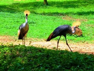Artist: Oleti Joseph Andima - Title: AFRICAN CRESTED CRANES - Medium: Color Photograph - Year: 2012