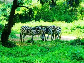 Artist: Oleti Joseph Andima - Title: AFRICAN ZEBRAS 2 - Medium: Color Photograph - Year: 2012