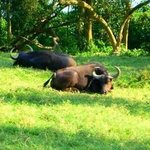 BLACK BUFFALOES FOR A NAP By Oleti Joseph Andima