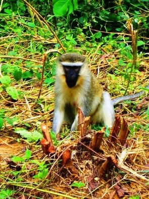 Artist: Oleti Joseph Andima - Title: GREY AFRICAN MONKEY - Medium: Color Photograph - Year: 2012