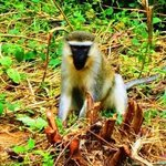 GREY AFRICAN MONKEY By Oleti Joseph Andima