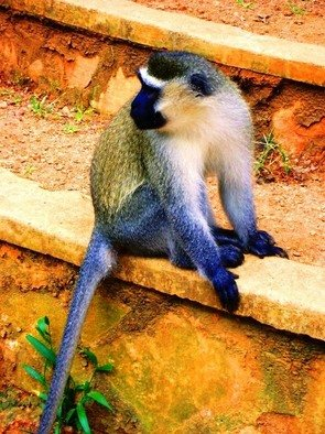 Artist: Oleti Joseph Andima - Title: GREY AFRICAN MONKEY 2 - Medium: Color Photograph - Year: 2012
