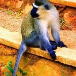 GREY AFRICAN MONKEY 2 By Oleti Joseph Andima