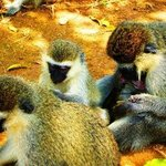 GREY MONKEYS 4 By Oleti Joseph Andima