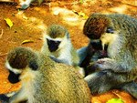 Color Photograph by Oleti Joseph Andima titled: GREY MONKEYS 4, created in 2012