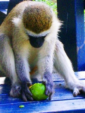 Artist: Oleti Joseph Andima - Title: MONKEY FOR A DINNER - Medium: Color Photograph - Year: 2012
