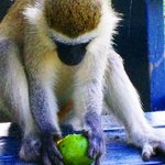 MONKEY FOR A DINNER By Oleti Joseph Andima
