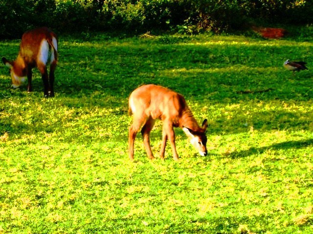Oleti Joseph Andima  'WATERBUCK AND KID GRAZING', created in 2012, Original Photography Color.