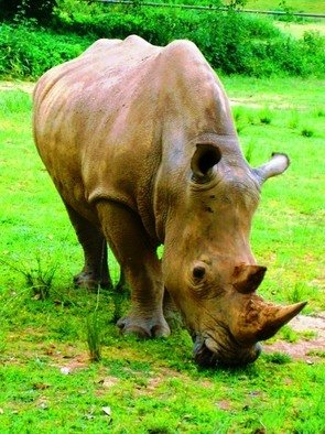 Artist: Oleti Joseph Andima - Title: WHITE RHINO 3 - Medium: Color Photograph - Year: 2012