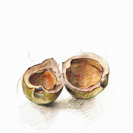 Lou Posner Artwork Coconut Shell Puerto Rico, 2010 Pencil Drawing, Botanical