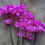 floral in pink 4 By Doug Johnson