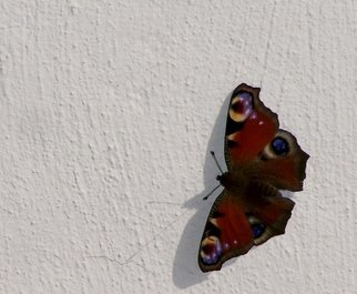 Paul Edwards: 'butterfly', 2017 Digital Photograph, Animals. Peacock butterfly on a textured wall. ...
