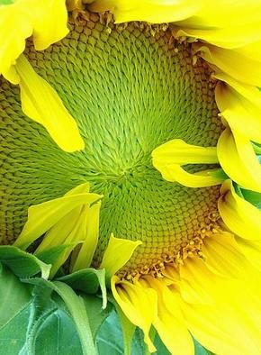Artist: Elio Morandi - Title: girasole - Medium: Color Photograph - Year: 2004
