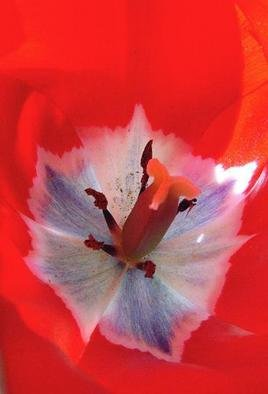 Artist: Elio Morandi - Title: tulipano - Medium: Color Photograph - Year: 2004