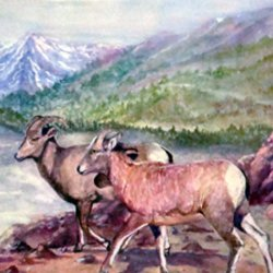 , Wild Sheep Of The Rocky M, Wildlife, $236