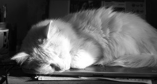 Evie Tirado: 'sleeping in the sun', 2018 Black and White Photograph, Cats. a black and white digital photograph of a white cat asleep on laptop...