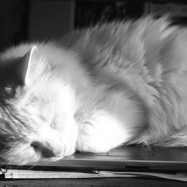 Evie Tirado: 'sleeping in the sun', 2018 Black and White Photograph, Cats. Artist Description: a black and white digital photograph of a white cat asleep on laptop...
