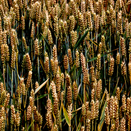 Glen Sweeney: 'food of life', 2018 Color Photograph, Farm. Artist Description: Wheat, corn, rice, the food of life. Where would we be without it  Wheat, cereal, farm, harvest. ...