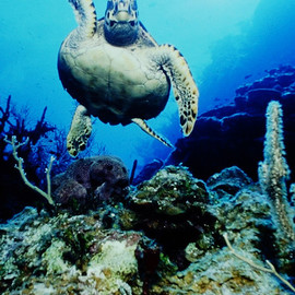 Db Jr: 'Hi  Turtle', 2015 Photography, Sea Life. Artist Description:  Off the Cayman Islands this beautiful sea turtle waved hi as he swam along the reef. This comes signed and numbered. Ready for framing.                              006 8348 ...
