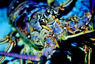 Db Jr: 'LOBSTER', 2015 Photography, Sea Life. Artist Description:   Off  Los Roques this beautiful lobster appeared over reef.  Holding still for just a moment before taking off never to be seen again.This comes signed and numbered. Ready for framing.                              003 1 lob ...