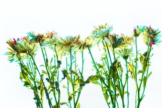 Db Jr: 'daisie fields', 2018 Digital Photograph, Botanical. Artist Description: DAISIES, DAISY, FLOWERS, FIELDS, FLOWERS, SPRING...