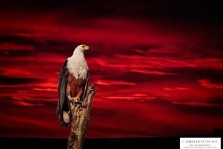 Herman Van Bon: 'the early bird', 2018 Digital Photograph, Birds. Artist Description: Fish Eagle pictured at sunriseLocation Sanddrif Farm, Napier, Western Cape, South AfricaPrint on canvas limited edition of 25, numbered...
