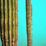 Cabo Cactus Duo, Harvey Horowitz