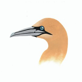 Of Feathers and Beaks: Northern Gannet