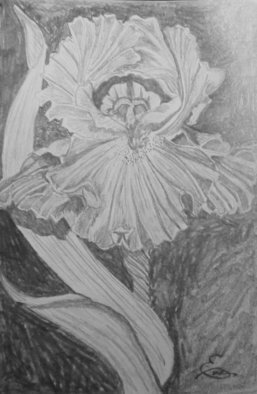 Still Life Pencil Drawing by Eve Co Title: Bearded Iris, created in 2009