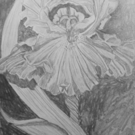 Eve Co Artwork Bearded Iris, 2009 Pencil Drawing, Still Life