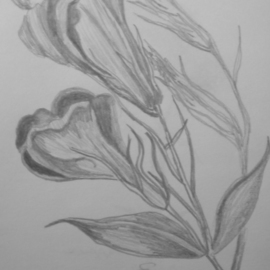 Eve Co Artwork California Poppies, 2009 Pencil Drawing, Still Life