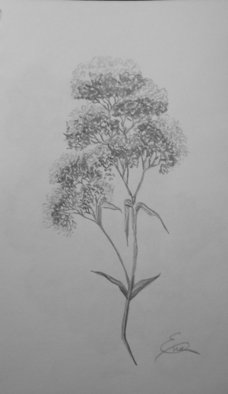 Still Life Pencil Drawing by Eve Co Title: Queen Annes Lace, created in 2009