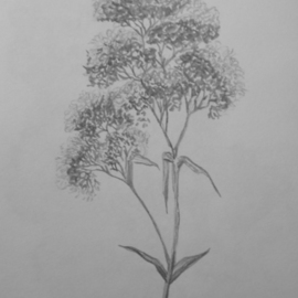 Eve Co Artwork Queen Annes Lace, 2009 Pencil Drawing, Still Life