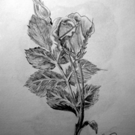 Eve Co Artwork Rosebud, 2009 Pencil Drawing, Still Life
