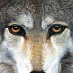 Eyes of a Wolf By Jacquie Vaux
