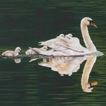 Reflections Of A Tulip Tree  Mute Swan Fafily, Jacquie Vaux