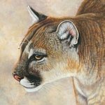 Stalking Cougar By Jacquie Vaux