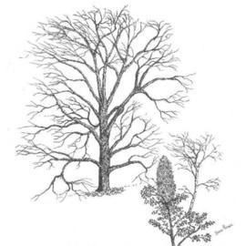 James Parker Artwork Leafless Oak, 2003 Pen Drawing, Botanical