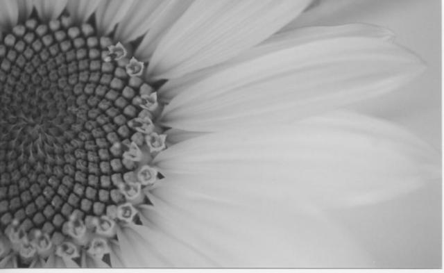 James Peer  'Sunflower', created in 2003, Original Photography Black and White.